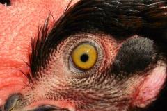 8.Světlejší oko a obličej, mírné probělení ušnice